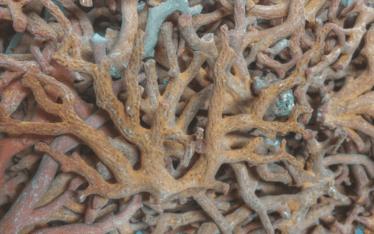 corallo in via d'estinzione